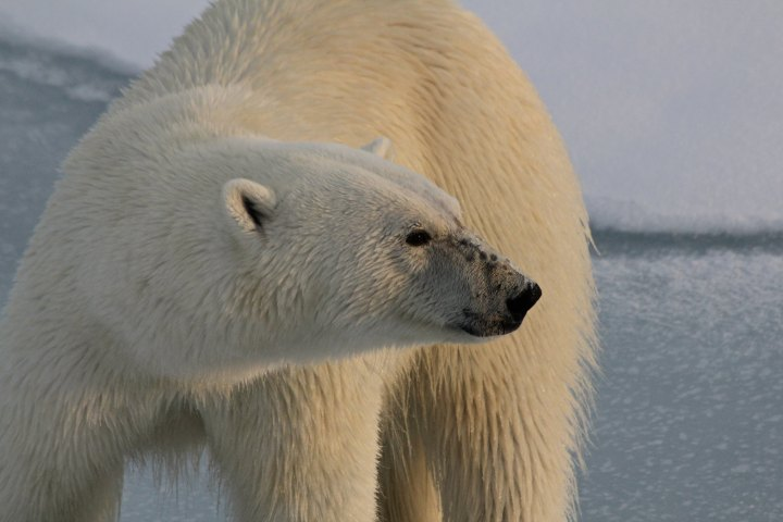 National Polar Bear Day by LaurieWood